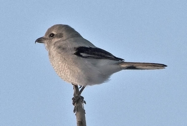 The one songbird in Maine that would eat another songbird: The northern shrike.