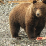 A grizzly bear enjoys a salmon he caught on Skilak Lake in Alaska