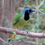 Of all the birds in North America, the green jay is the clear choice to lead the St. Patrick.