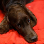 An Irish Setter lies on its bench during the Crufts Dog Show in March 2017. A new study found that dogs are capable of great manipulation.
