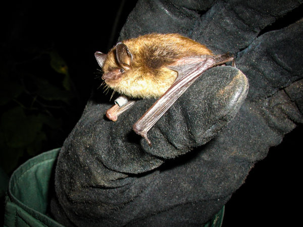 A little brown bat showing no visible signs of white-nose syndrome perches on a researcher's glove in Vermont.