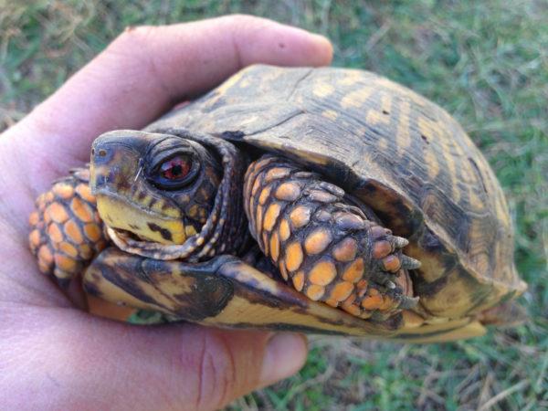 The eastern box turtle