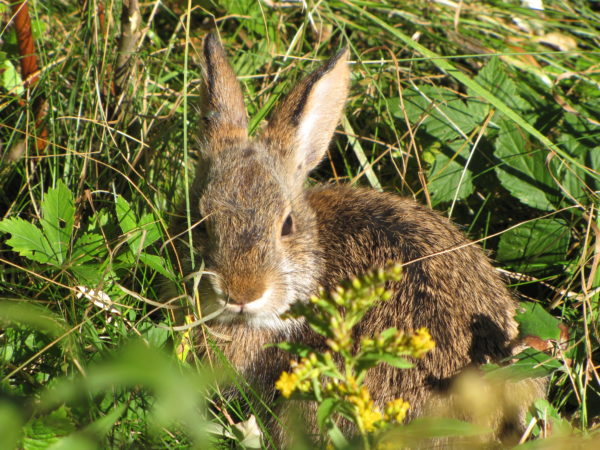 The New England cottontail rabbit is one of many shrubland dependent species that influenced the creation of the new Great Thicket National Wildlife Refuge, approved in October. Plans for the refuge include conserving land in six northeast states, including Maine, where the New England cottontail rabbit is listed as an endangered species.