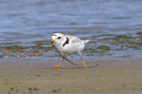 A piping plover grabs a worm near the water on Popham Beach in Phippsburg.