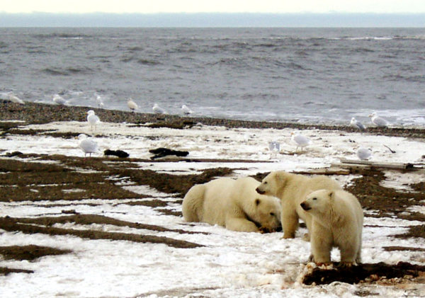 A polar bear and her two cubs are seen on the Beaufort Sea coast within the Arctic National Wildlife Refuge. As temperatures keep rising, polar bears face a bleak future with diminishing sea ice, their primary habitat.