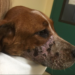 In March, police said they received a complaint of animal cruelty after Nicole Bizier sold a dog that had been muzzled for an extended period of time, causing severe tissue damage.