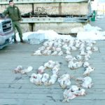 Maine Game Warden Eric Rudolph stands next to dozens of dead snowshoe hares that wardens confiscated Saturday from a group of hunters on Great Duck Island.