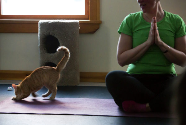 Mango plays with a toy as Marylou Cook conducts class during cat yoga at P.A.W.S. Animal Adoption Center in Camden Wednesday. The third Wednesday of every month, Coastal Maine Yoga provides free yoga classes with adoptable cats at the center.