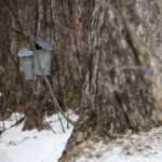 Sap buckets around a neighborhood in Belfast wait to be emptied by Sasha Kutsy and her family Wednesday. The family gathers sap from neighbor trees to make around two gallons of maple syrup.