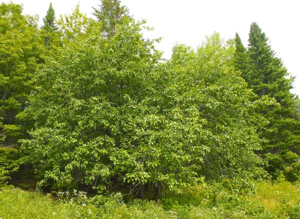 'Definitely worth saving': Maine farmer helps give old apple trees new life