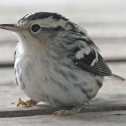This black-and-white warbler sits on a deck after crashing into a bedroom window.