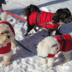 A trio of well-dressed dogs sport jackets made by critter seamstress Sandi Rowe Umble.