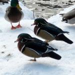 Wood Ducks in Winter