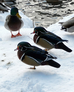 Wood Ducks in Winter