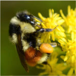 """The orange belted bumblebee is one of Maine's native bee species. Frank Drummond, professor of insect ecology at the University of Maine, said that Maine's native bees on the whole are doing pretty well, which isn't the case with the national outlook on honeybees. """"In general, it seems that most of our native bees are pretty stable,"""" he said."""