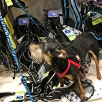 Chiclet, the Rusty Metal Farm house dog takes one last wistful look at new harnesses before leaving PetSmart in Bangor. Thanks to a lost wallet, no purchases were made that day.