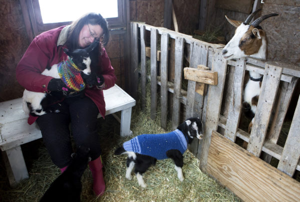 Sonja Twombly puts a sweater on Benny at Lally Broch Farm in Frankfort.