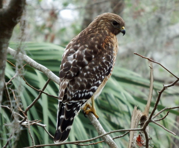 There are remnant populations of red-shouldered hawks in California and Mexico. Otherwise it is exclusively an eastern hawk. It is non-migratory over most of its breeding territory. It is uncommon in Maine where it is at the northern limit of its range. Our residents go south for the winter.