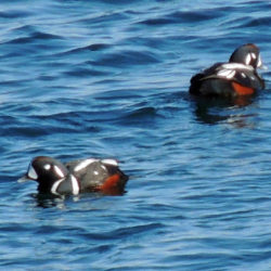 Two harlequin ducks float on the calm surface of the ocean.