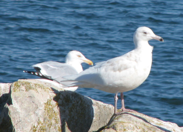 A glaucous gull (far right), a rare sighting in Maine, stands next to a herring gull.