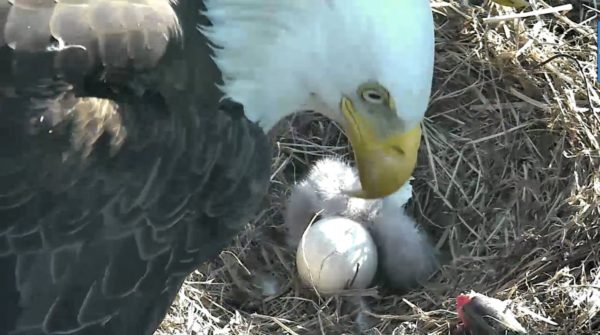 A bald eagle is seen with a newly-hatched eaglet in a nest at the National Arboretum in Washington in a still image from a live video feed in 2016.