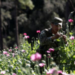 A soldier touches a poppy plant used to make heroin.