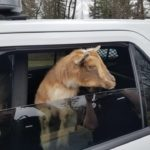 Belfast police are looking for the owners of two goats found Sunday morning near the parking lot for the Rail Trail along the Passagassawakeag River.