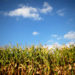 Corn is seen in a field in Indiana on September 6, 2016.