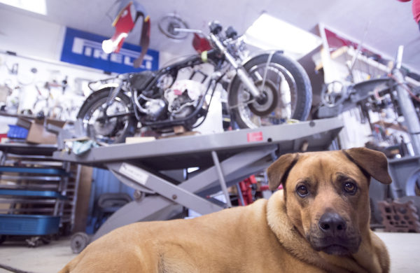 Chuck Sim's dog Phinney at his shop where he rebuilds antique motorcycles. Sim specializes in Moto Guzzi bikes but has worked on many antique cars and bikes over the years.
