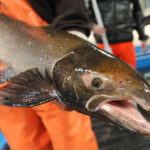 An Atlantic salmon is seen at the Craig Brook National Fish Hatchery in East Orland.