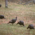 Wild turkeys forage in an apple orchard in Eddington on a recent morning.