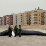 "Law enforcement personnel stand next to a dead humpback whale that had washed up on Rockaway Beach in Queens, New York on April 4, 2017. it is one of 41 dead humpback whales that have washed up on the East Coast since January 2016. Calling it an ""unusual mortality event,"" NOAA officials have opened an investigation into what may have caused the whales' deaths."