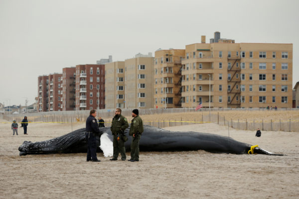 """Law enforcement personnel stand next to a dead humpback whale that had washed up on Rockaway Beach in Queens, New York on April 4, 2017. it is one of 41 dead humpback whales that have washed up on the East Coast since January 2016. Calling it an """"unusual mortality event,"""" NOAA officials have opened an investigation into what may have caused the whales' deaths."""