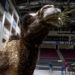 A camel snacks on some hay as setup for the 2017 Anah Shrine Circus was underway at the Cross Insurance Center in Bangor on Thursday afternoon. The first show is on Friday at 3 p.m., with performances through the weekend.