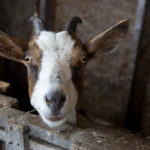 A goat is seen in the barn at Lally Broch Farm in Frankfort.
