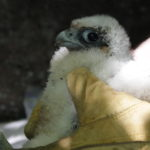Acadia National Park trails reopen after falcons fledge