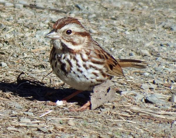 Song Sparrow photo courtesy of Bob Duchesne, Author of Maine Birding Trails