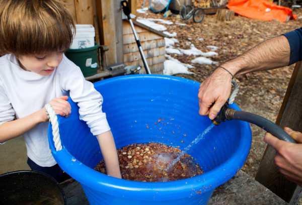 Walden Merkel Cutting (left), 7, helps agitate a bucket of acorns to remove the skins while Steve Byers adds water at their home in Belfast on Thursday. The group expects to make around 20 pounds of acorn flour when they are done.