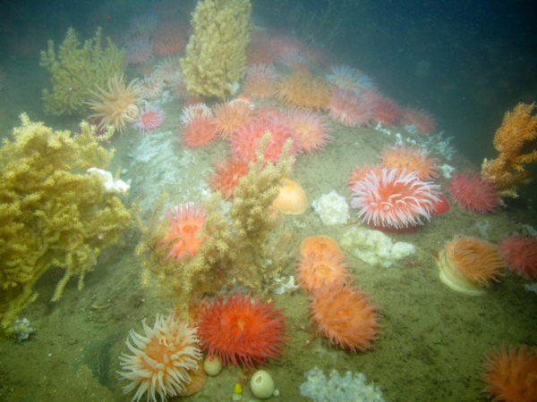 Colorful corals and anemones in west Jordan Basin are pictured in this photo taken in the summer of 2014 by coral researchers.