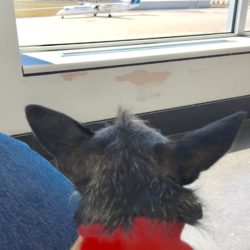 Chiclet amused herself for a time during a long layover in Montreal watching planes take off and land. The Rusty Metal Farm house dog is well on her way to becoming a savvy traveler.