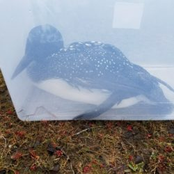 The rescued loon sits in a tote.