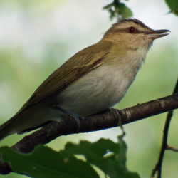 The red-eyed vireo.