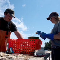Alec Bollinger (left) and Nicole Twohig, both with Quahog Bay Conservancy, clean American oysters after pulling them up from a limited purpose aquaculture (LPA) site off Snow Island last week.  A number of oyster farms have started up in Casco Bay in recent years. Adult oysters, which are beneficial to the ecosystem, filter about 50 gallons of water per day, removing nitrogen and excess nutrients that wash into the bay with pollutants. Since the establishment of the Quahog Bay Conservancy in 2014, about 70,000 Snow Island oysters have been sold across the country.