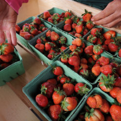 Fresh strawberries are hand-sorted