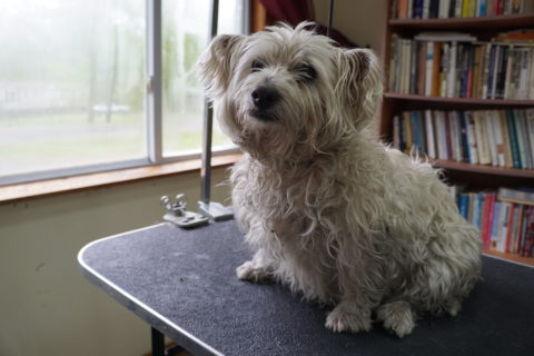 Bonnie, the 9-year-old West Highland white terrier who has been the focus of a two-week search, is shown before the bath and haircut she received after being located late Friday morning.