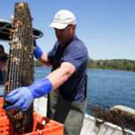 Pete Valente with Quahog Bay Conservancy, empties a mesh bag full of oysters to sort them by size. A number of oyster farms have started up in Casco Bay in recent years. Adult oysters, which are beneficial to the ecosystem, filter about 50 gallons of water per day, removing nitrogen and excess nutrients that wash into the bay with pollutants. Since the establishment of the Quahog Bay Conservancy in 2014, about 70,000 Snow Island oysters have been sold across the country.
