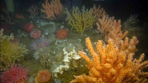 Coral in the northern Gulf of Maine.