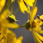 A bee buzzes a flower in Portland