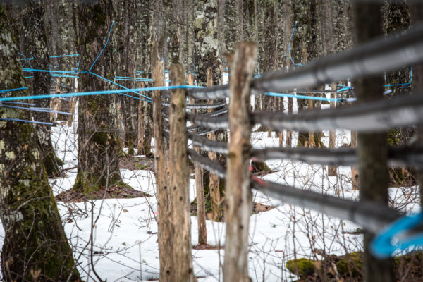 A web of hoses and pipes snake through the nation's largest sugarbush in Big Six Township on Monday. The maple trees are studded with over 350,000 taps.