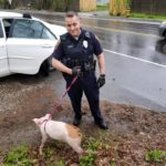 A Falmouth police officer picked up this runaway pig on Mother's Day and returned it to its owners.